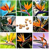 Potato001 10Pcs Rare Strelitzia Reginae Flower Seeds Bird of Paradise Tropical Plant Decor