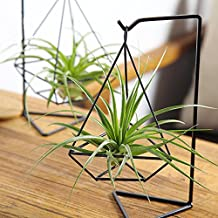 1 set Unique Air Plant Kits with Tillandsia Brachycaulos,Black Metal Holder-Office Work Desk Decor,Gifts for husband