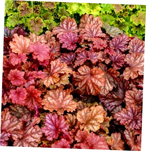 ABELYN Plant Heuchera Coral Bells Peachberry Ice Ship Spring 2019 - EB274