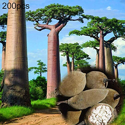 Mggsndi 200Pcs Baobab Perennial Plant Tree Seeds Garden Yard Street Field Outdoor Decor - Heirloom Non GMO - Seeds for Planting an Indoor and Outdoor Garden Baobab Seeds 200pcs