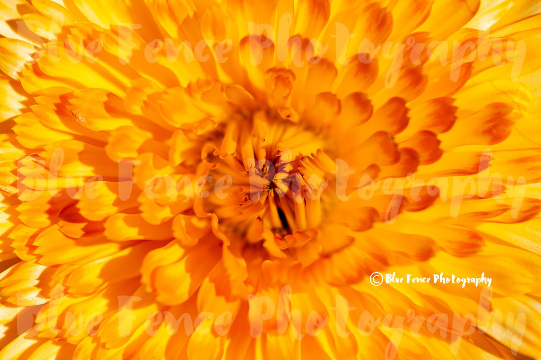 Flower Photography, Sunshine Flower, Yellow Petals, Abstract, Macro, Photograph, Country, Print, Home, Wall Decor Living Room, Gardening, Sizes Available from 5x7 to 20x30. by Blue Fence Photography