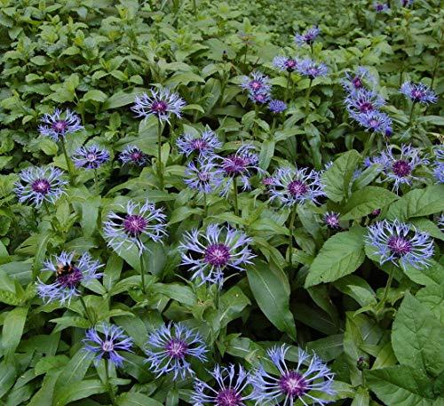 Bachelor Buttons Perennial - Centaurea Montana - Quart Pot by AchmadAnam