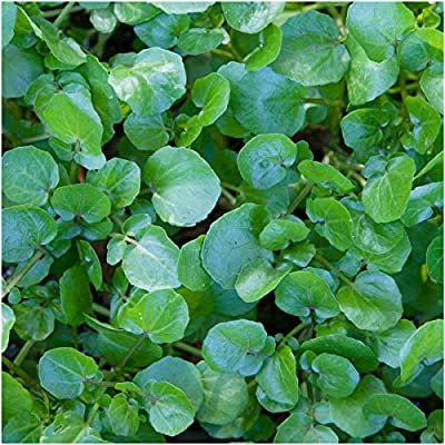Package of 500 Seeds, True Watercress (Nasturtium officinale) Non-GMO Seeds by Seed Needs
