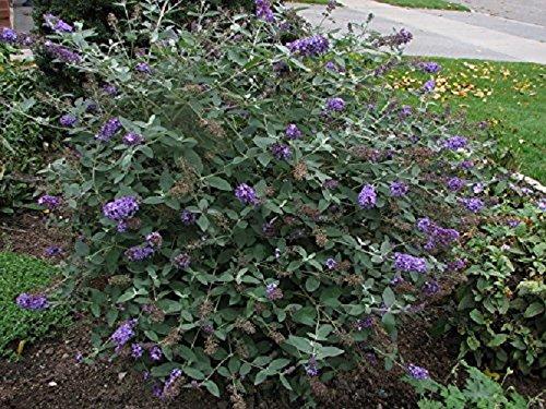 Blue Heaven Flutterby Petite Dwarf Butterfly Bush - Live Plant - Quart Pot