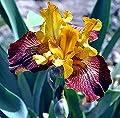 PG Seeds Three Iris Rhizome assorted colors - tall bearded iris - iris bulb - flower bulb - Cleaned