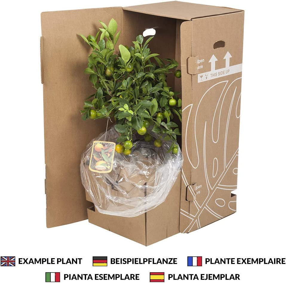 Altura: 40 cm 2 /× Palmera Yucca Plantas de interior de Botanicly Yucca