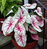 White Queen Caladium 3 Bulbs - Frosty White/Green/Red