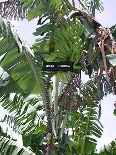 Amazon Com Musa Gros Michel Live Banana Plant Fruit Tree Garden