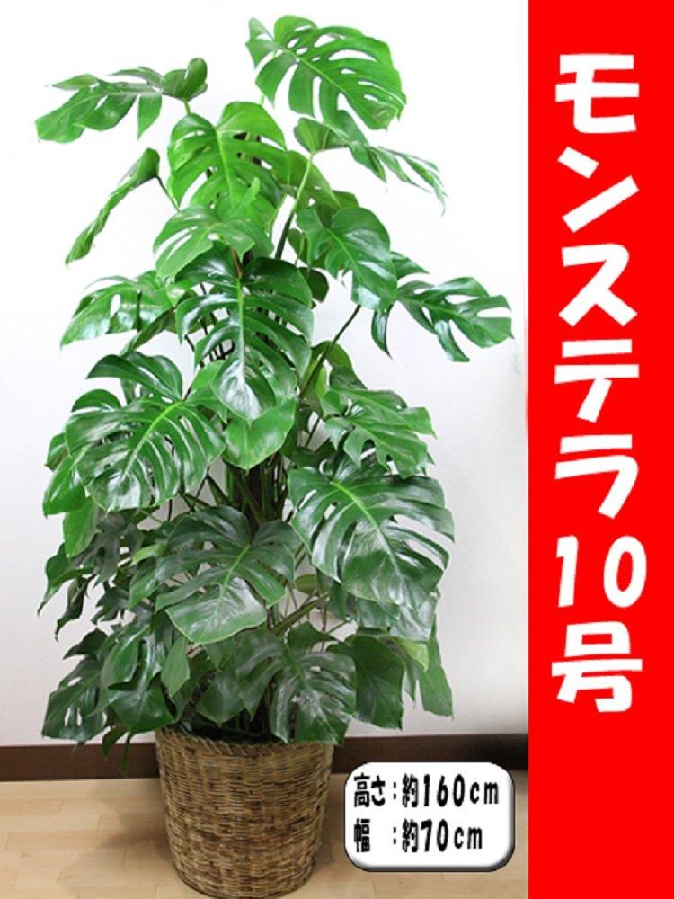 観葉植物 モンステラ 10号 【鉢カバー付】 B013NOZNCO