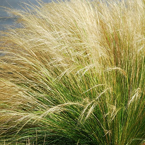 Mexican Feather Grass - Mexican Feather Grass - Size: 1 Gallon (Stipa tenuissima)