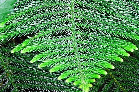 Amazon.com: Norfolk Island Pine   The Indoor Christmas Tree   4