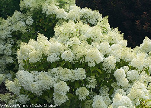 BoBo Dwarf Hydrangea Bush - Blooms All Summer - Proven Winners - 4