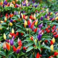 30 Seeds Ornamental Hot Pepper Seeds Prairie Fire Edible Grow Inside or Out Home