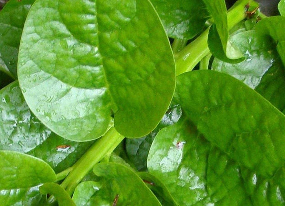 Delicious Vegetable Seeds 20 Organic Green Stem Malabar Spinach Seeds for 2019