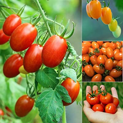 200Pcs Cherry Tomato Seeds Delicious Fruit Vegetable Home Garden Decor - 200pcs Tomato Seeds : Garden & Outdoor