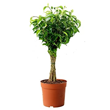 Amazon.com : Ficus Benjamina Green aka Weeping Fig, Benjamin Fig ...