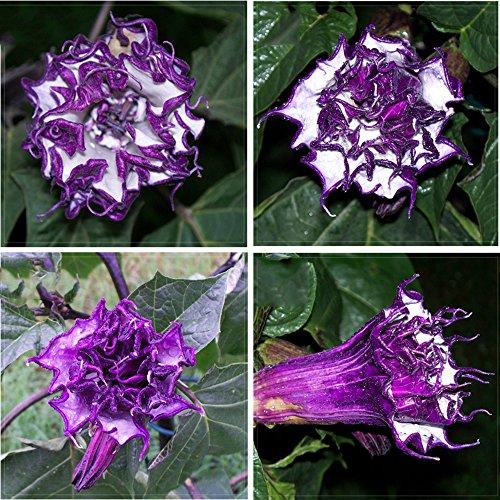 (Best Garden Seeds Purple Moon Angel Trumpet Datura / Yellow Datura Metel Flowers, Professional Pack, 20 Seeds, very beautiful flowers)
