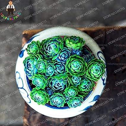 Astrophytum Cactus Flores Seeds Plants Succulents Bonsai For Mixed 100pcs//bag