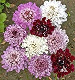 David's Garden Seeds Flower Scabiosa Pincushion Formula Mix CY9345 (Multi) 500 Non-GMO, Open Pollinated Seeds
