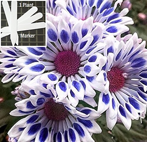 white-blue-chrysanthemum-400-seeds-1-2-oz-wt-asteraceae-upc-648620998156-1-free-plant-marker