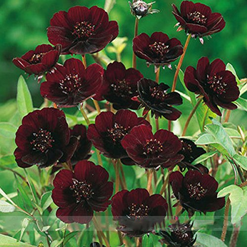 (Chocolate 20 *Ambizu*) Chocolate Cosmos Flower Seeds, Professional Pack, Beautiful Coreopsis New Variety