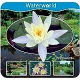 Waterworld Aqua Set - Nymphaea Pygmaea Alba - White Dwarf Water Lily