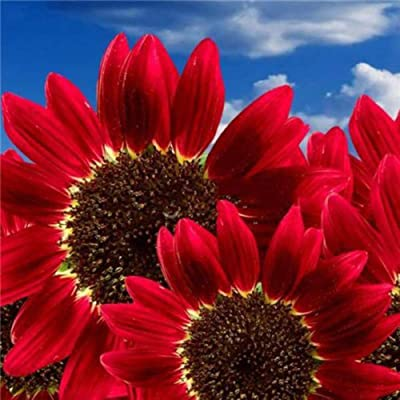 Pcongreat 200Pcs Red Sunflower Seeds Helianthus Flower Home Garden Plant Decoration, Seeds for Plainting, Easy to Grow Flower Plant Seeds Red Sunflower Seeds : Garden & Outdoor