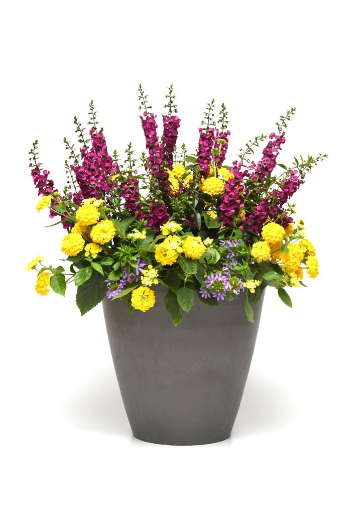 Burpee Combo 'Daydream' - Create Instant Colorful Container Gardens with Four 4 in. pots by Burpee (Image #2)