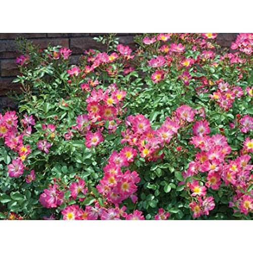 ( 1 gallon) PINK DRIFT ROSE- low-growing with distinctive mounded flowers. Deep pink flowers with a soft faded center bloom in abundance throughout the season for sale
