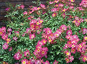 Amazon 1 gallon pink drift rose low growing with 1 gallon pink drift rose low growing with distinctive mounded flowers mightylinksfo
