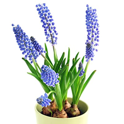 Grape Hyacinth Seeds 100 Capsules/Pack : Garden & Outdoor