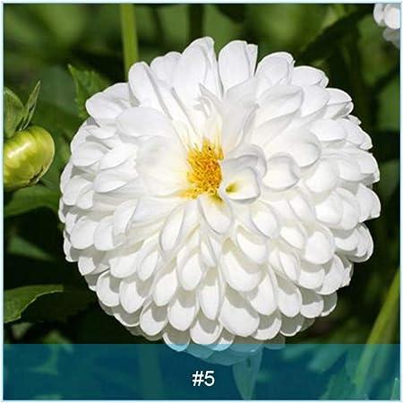 BUY 3 GET 2 FREE Autumn Dahlia Flower 200 Pcs Seeds Garden Blooming