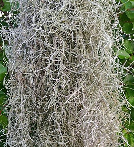 picandsav-spanish-moss-1-2-pound-fresh