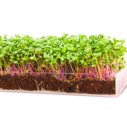Care Young (Grow 'n Serve Microgreen Kit – Attractive Table Centerpiece Planter Tray + Fiber Soil + Spray Bottle + Seed. Sprout Healthy Zesty Superfood Greens. Great Indoor Garden Gift for Men, Women, Foodie)