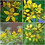 "2 THRYALLIS GALPHIMIA GAUCA,GOLDEN SHOWER STARTER PLANT WELL ROOTED 6 "" TALL"