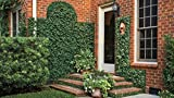 Creeping Fig Plant Ficus Pumila Climbing Vine Qty 60 Live Fully Rooted Plants