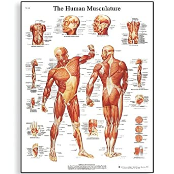 3B Scientific VR1118L Glossy Laminated Paper Human Musculature Anatomical Chart Poster Size 20quot Width