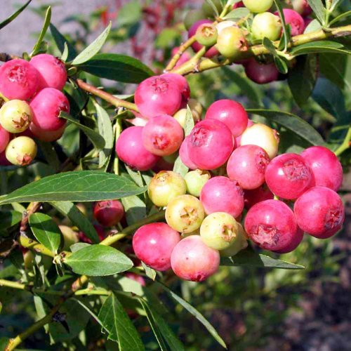 Pink Lemonade Blueberry Shrub - Sweet Fruit That Is Bright Pink When Ripe, Good for Colder Climates, Beautiful Flowering Bush and Orange Leaves in the Fall Make a Perfect Addition to the Ornamental Garden. (1 Gallon Plant)