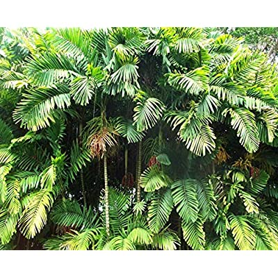 Ptychosperma macarthurii Seedlings Palm Tree Live Tropical Rare : Garden & Outdoor