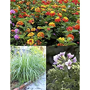 "Mosquito Trio - 9 Mosquito Repellent Plants – Includes THREE Varieties: 3 Citronella Geranium Plants, 3 Lemongrass Plants, 3 Lantana Plants, Each 4""– 8"" Tall in Individual 4"" Pots"