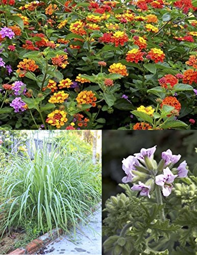 Mosquito Trio - 9 Mosquito Repellent Plants - Includes Three Varieties: 3 Citronella Geranium Plants, 3 Lemongrass Plants, 3 Lantana Plants, Each 4