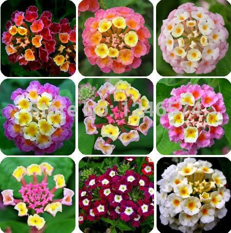 50 PC/bolso, semillas de Lantana, de semillas en macetas, semillas de flores, jardín del hogar del envío: Amazon.es: Jardín