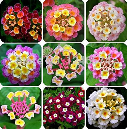 50 Pcs/ Bag, Lantana Seeds, Potted Seed, Flower Seed, Home Garden