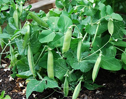 Tom Thumb Pea Seeds - 20+ Rare Seeds + FREE Bonus 6 Variety Seed Pack - a $29.95 Value! Packed in FROZEN SEED CAPSULES for Growing Seeds Now or Saving Seeds For Years (Tom Thumb Pea Seeds)