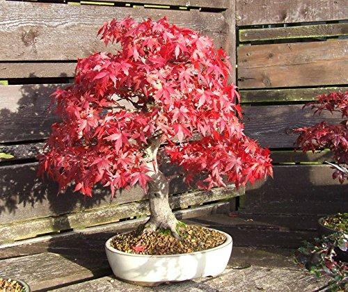 - Heirloom 10 Seeds Red Maple Scarlet Maple Acer Rubrum Bonsai Tree Shrub Seeds