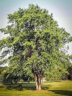 White Oak Tree 2-3 Ft Fall Color, Live Plants ,trees Seedlings Shade Trees