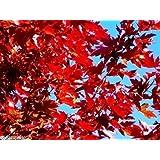 MAPLE TREE SUGAR 35 SEED CANADA ACER GROW FAST ~Farmer's seeds