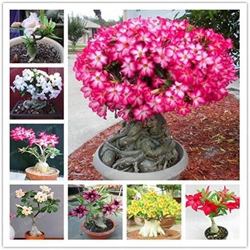 Bloom Green Co. Desert Rose Bonsai Fleurs Bonsai pot Adenium obesum intérieur Bonsai Mini plante en pot arbre pour jardin des plantes 1 Pcs: 7