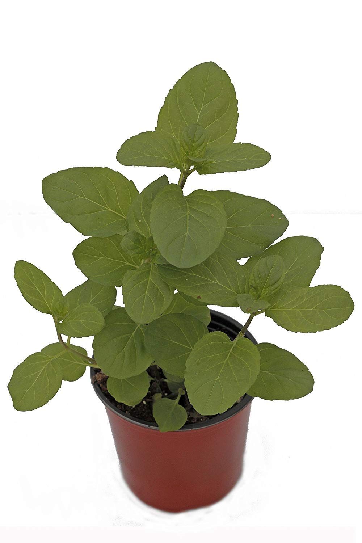 Mint 'Orange' Herb Plant (Pack of 6)