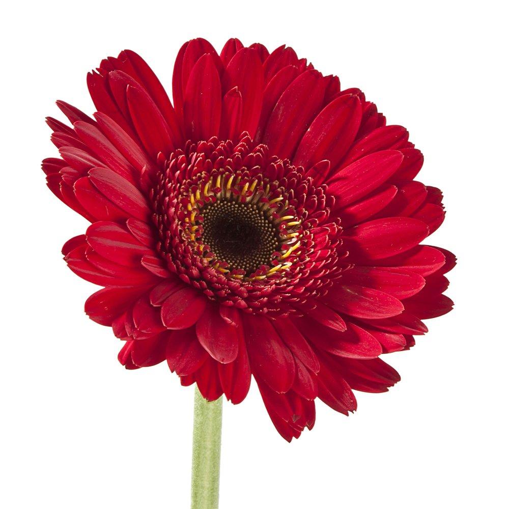 Wholesale Gerberas (150 Red) by eFlowy